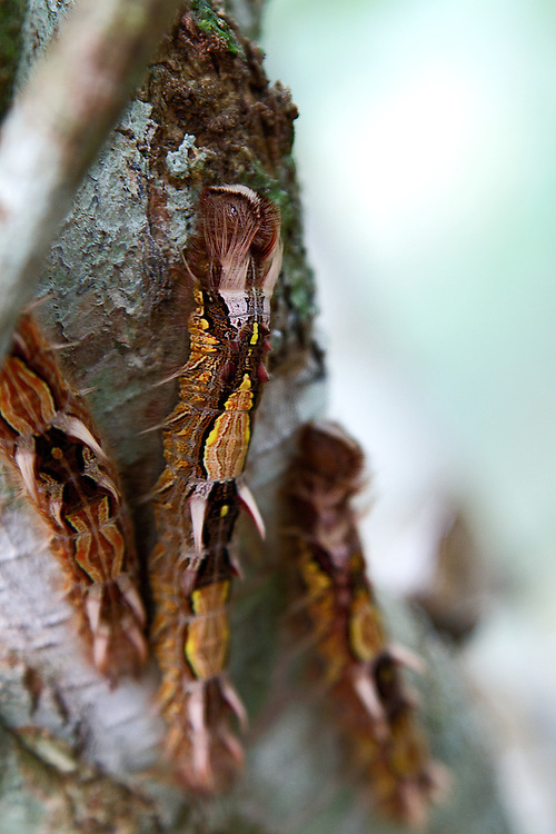 Three beautiful Blue Morpho caterpillars with their bronze, gold, brown and white bodies standing out agains the white and mint-colored tree trunk and a light blue background.