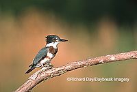01186-007.10 Belted Kingfisher (Ceryle alcyon) female on log in wetland Marion Co.   IL