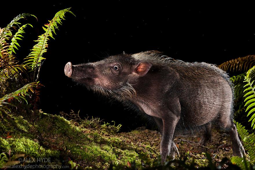 Bearded Pig (Sus barbatus) foraging for food at night, Maliau Basin, Sabah, Borneo, Malaysia.