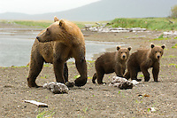Coastal brown bear sow and her two spring cubs as she attentively looks back to watch for other bears in the stream.