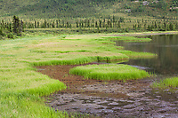 Tundra in summer green grasses, Grayling lake, Alaska.
