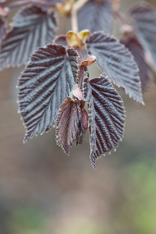 New foilage of purple-leaved filbert (Corylus maxima 'Purpurea'), early April.