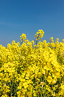 Oil seed rape in flower - Lincolnshire, April