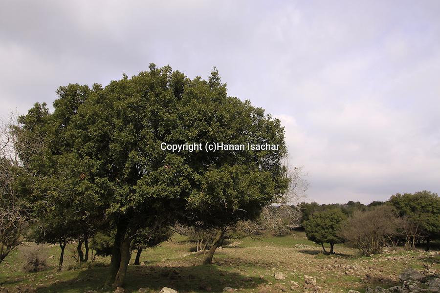 Golan Heights, Odem Forest