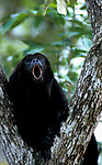 Black Howler Monkey, Ateles paniscus, howling from tree, Central America, calling, sound, captive, tropical jungle