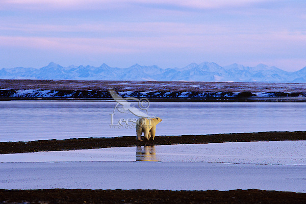 Polar Bear walking along spit of land on the edge of the Beaufort Sea and the Arctic National Wildlife Refuge, AK.  .October.
