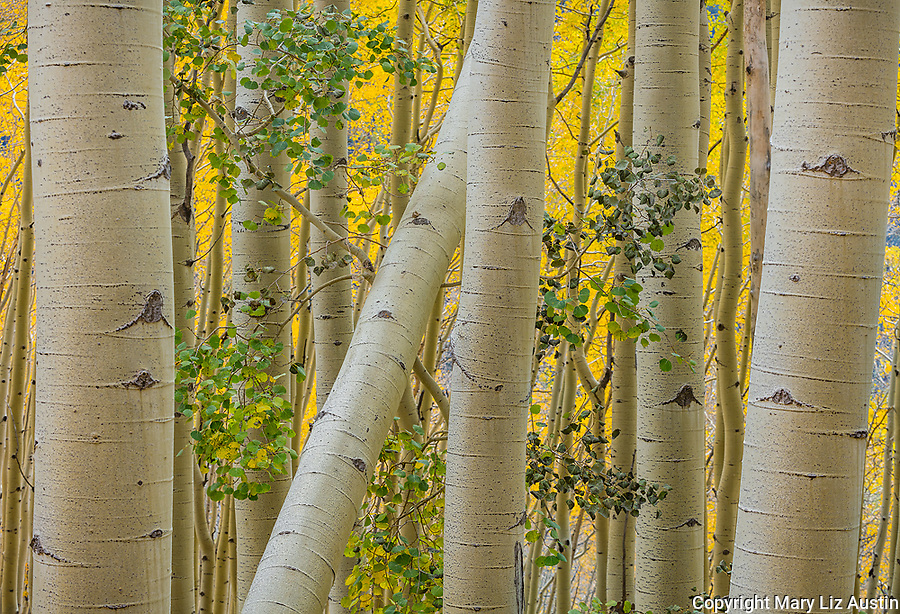 Uncompahgre National Forest, Colorado: Aspen trunks in fall