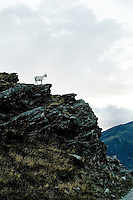 Goat in the hills above Queenstown, New Zealand
