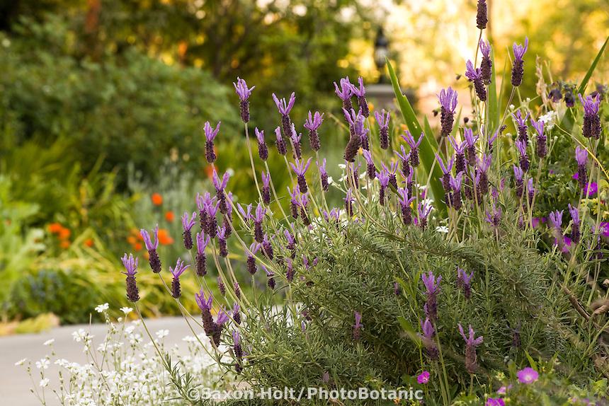 Lavandula stoechas, Spanish lavender flowering in Southern California garden, Pasadena