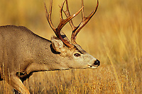 Mule Deer buck (Odocoileus hemionus) with swollen neck during fall rut.  Western U.S.