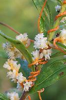 Dodder on goldenrod; Cuscuta; parasite; PA, Philadelphia, Morris Arboretum; Bloomfield Farm