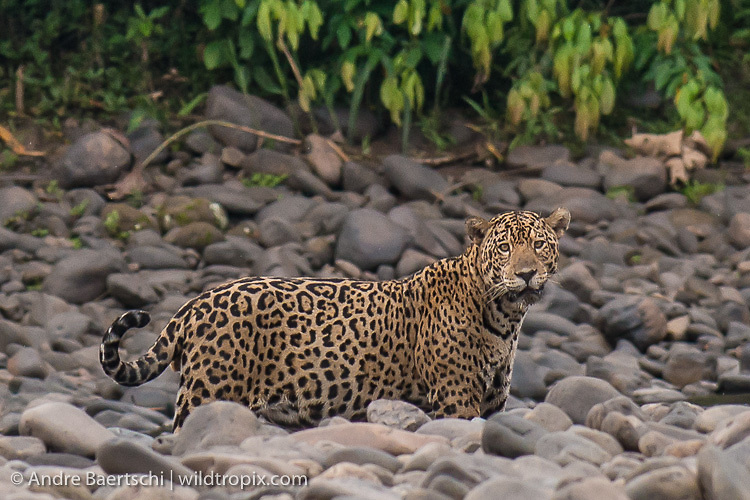 Jaguar (Panthera onca), adult male at the edge of the upper Tambopata River, lowland tropical rainforest, Bahuaja-Sonene National Park, Puno, Peru.