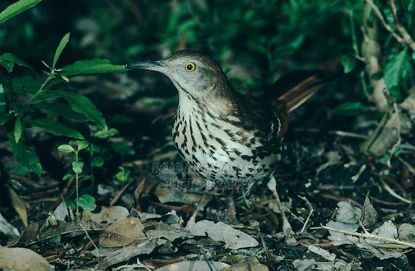 Brown Thrasher, Toxostoma rufum, adult, High Island, Texas, USA, May 2001