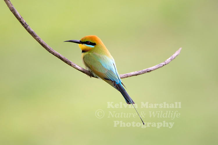 Rainbow Bee-eater (Merops ornatus) is a near passerine bird in the bee-eater family Meropidae. It is the only species of Meropidae found in Australia. Cairns - Far - North Queensland.