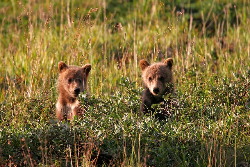 Spring cubs, Denali National Park, Alaska