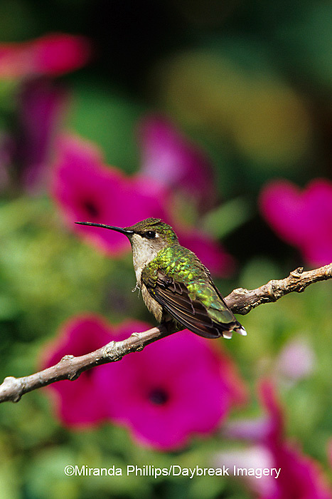 01162-070.09 (MW) Ruby-throated Hummingbird (Archilochus colubris) female perched near flower garden  Shelby Co.  IL