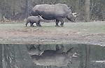 Foto: VidiPhoto<br /> <br /> ARNHEM &ndash; Het op 1 maart geboren breedlipneushoornvrouwtje Naomi in Burgers&rsquo; Zoo in Arnhem mocht vrijdag voor het eerst de Oost-Afrikaanse savanne op. Waar de vorige neushoornbaby&rsquo;s direct nieuwsgierig achter de andere dieren aanholden, was het Noami een stuk voorzichtiger door niet of nauwelijks van de zijde van haar 2000 kilo zware moeder te wijken. De andere dieren bleven daarom op respectabele afstand. Tot vrijdag verbleef het neushoorntje met haar moeder overdag in een groot buitenverblijf achter de schermen. Een introductie blijft ook voor de dierverzorgers altijd een spannend moment. In uitzonderlijke gevallen kunnen zelfs trappen worden uitgedeeld, of charges met de neushoornhoorns als geducht wapen worden uitgevoerd. In 2017 werden in alle Europese dierentuinen met breedlipneushoorns in totaal slechts elf dieren geboren. In 2016 kwam het totaal op zestien geboortes uit. Tegen die achtergrond is het bijzonder dat de neushoorngroep in de Arnhemse dierentuin momenteel maar liefst drie jongen telt: een mannetje van bijna twee jaar, een vrouwtje van zeven maanden en het pasgeboren vrouwtje van anderhalve maand. Het Arnhemse dierenpark neemt met enkele andere Europese dierenparken nadrukkelijk het voortouw voor wat betreft de fok met breedlipneushoorns.