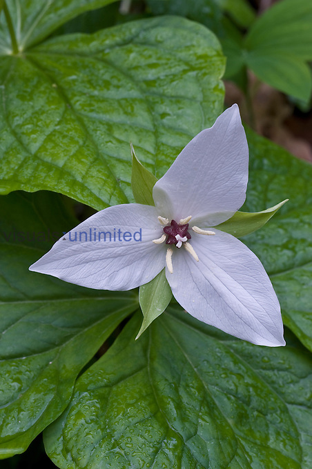 Sweet White Trillium flower (Trillium simile), Great Smoky Mountains National Park, Tennessee, USA.