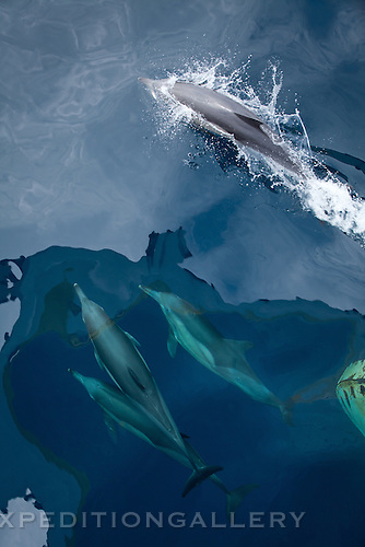 Long-beaked common dolphins (Delphinus capensis), Gulf of Guinea, Africa.