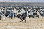 March 21, 2018: Prior to a mass liftoff, sandhill cranes begin their dance as the sunrise breaks through the morning clouds.  Each spring, as many as 27,000 sandhill cranes migrate through Colorado's San Luis Valley and the Monte Vista National Wildlife Refuge, Monte Vista, Colorado