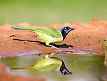 Green Jay drinking water with water droplets mid air from beak