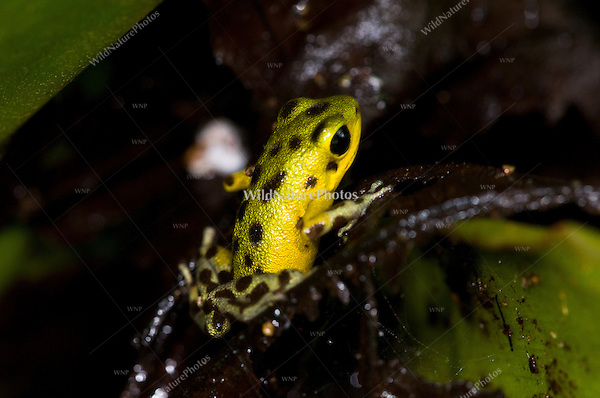 "The yellow-green and brown Strawberry Poison Dart Frog (Oophaga pumilio, ""Isla Colón""), Bocas del Toro, Colon Island, Panama"