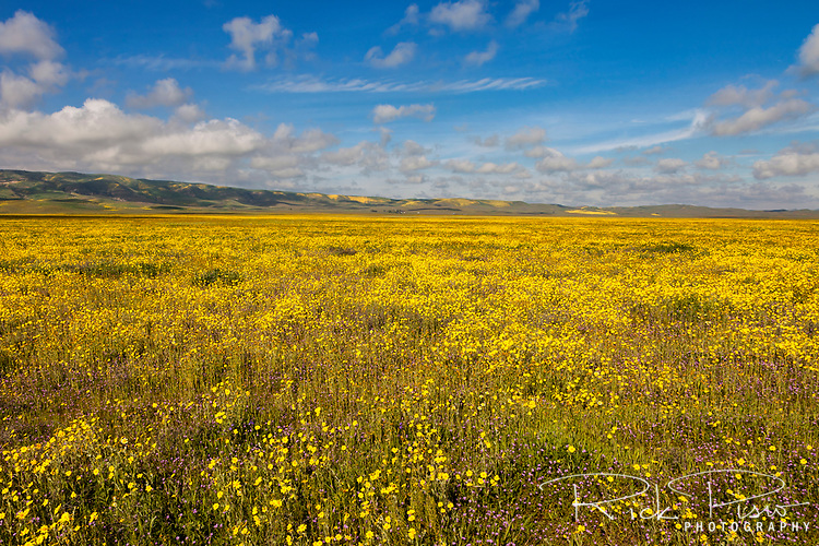 Goldfields bloom in California's Carrizo National Monument