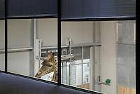 Girafes installées dans leur nouvel enclos, premier nouveau bâtiment du Parc Zoologique de Paris livré au Museum national d'Histoire naturelle, Chantier de renovation du Parc Zoologique de Paris (Zoo de Vincennes), décembre 2012. Giraffas in their new enclosure, first new building delivered to the Museum national d'Histoire naturelle, renovation works of the Parc Zoologique de Paris (Zoo de Vincennes), December 2012. Picture by Manuel Cohen