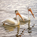 Two pelicans with water reflection in Cherry Creek State Park near Denver, Colorado