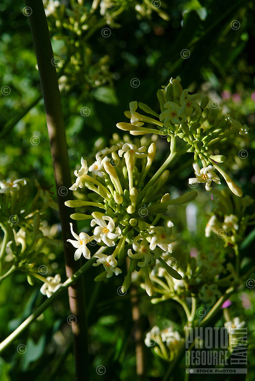 Flower blossoms from a papaya tree