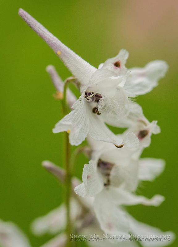 Prairie Larkspur wildflower