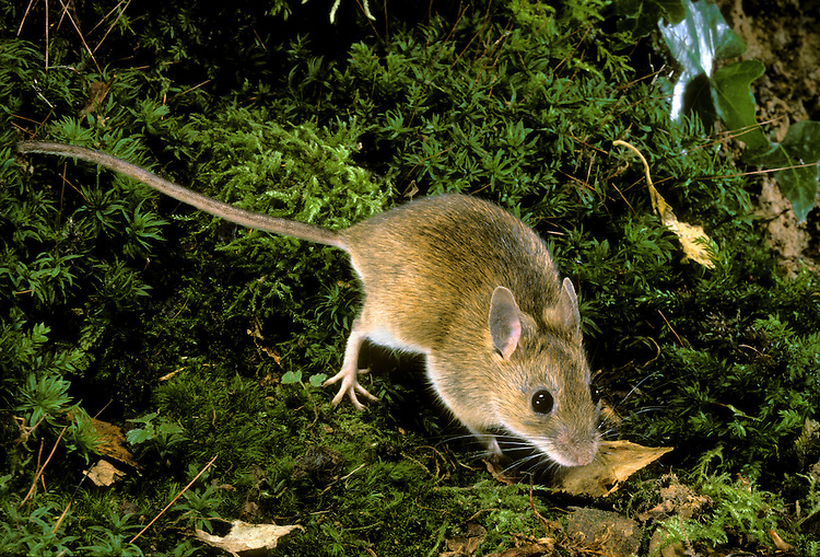 Yellow-necked Mouse Apodemus flavicollis Length 18-25cm Similar to Wood Mouse but larger, with relatively larger ears, eyes and feet, and longer tail; coat is richer brown on upperparts and shows clearer demarcation between upperparts and clean-looking white underparts. Note the broad, rich yellow band on throat (in Wood Mouse, yellow on throat is, at most, a discrete spot. Mainly nocturnal. Climbs well. Squeals loudly in distress. Distribution is patchy, and only locally common. Favours undisturbed deciduous woodland.