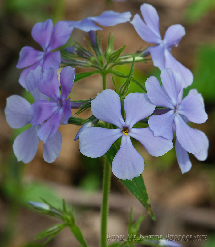 Phlox wildflowers