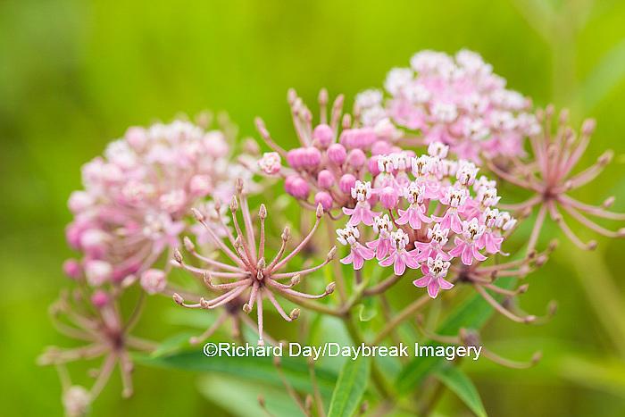 63899-05407 Swamp Milkweed (Asclepias incarnata), Marion Co., IL