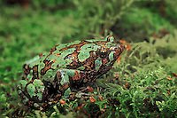MARBLED RAIN FROG aka BURROWING FROG..Native to Madagascar. Captive..(Scaphiophryne marmorata).