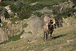 Bighorn sheep or mountain sheep (Ovis canadensis) ram on the alpine tundra  in the Mummy Range, Rocky Mountain National Park, Colorado, USA.