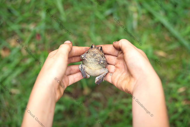 Toad on its back in a young child's hands