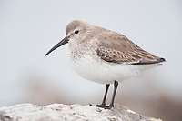 Dunlin (Calidris alpina) in basic (winter) plumage. Ocean County, New Jersey. January.