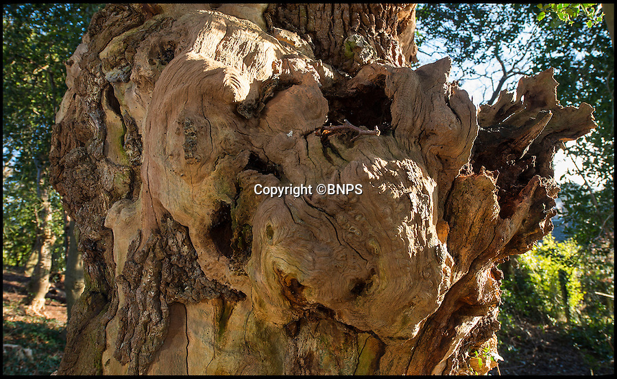 BNPS.co.uk (01202 558833)<br /> Pic: PhilYeomans/BNPS<br /> <br /> The tree's wizened bark.<br /> <br /> Re-discovered in a suburban back garden - is this the Domesday oak that marked the edge of William the Conqueror's New Forest?<br /> <br /> An ancient oak tree that was said to have been used by William the Conqueror as a boundary marker for the New Forest has been unearthed in an overgrown back garden.<br /> <br /> When new homeowner Peter Dibeney decided to tackle the overgrown back garden of his new home in Highcliffe, Dorset, he had know idea of the ancient treasure he would uncover deep in the undergrowth - the 900 year old tree is now thought to be dead, but its wizened trunk still remains. <br /> <br /> The Norman's were known to use prominent oak trees to denote the bounds of their royal hunting estate's because they would stand the test of time.