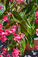 Begonia, angelwing in pot container garden