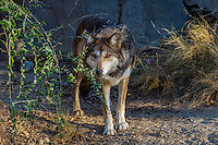 Mexican Wolf or Mexican Gray Wolf (Canis lupus baileyi)--a highly endangered species.  Found only in the desert sothwest (USA) and northern Mexico.  (Photographed at The Living Desert Zoo & Gardens, Palm Springs, CA).