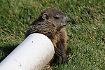 Young Ground Hog among those living under porch of my apartment in Saugerties, NY, photographed on, June 16, 2013. Photo by Jim Peppler. Copyright Jim Peppler/2013.