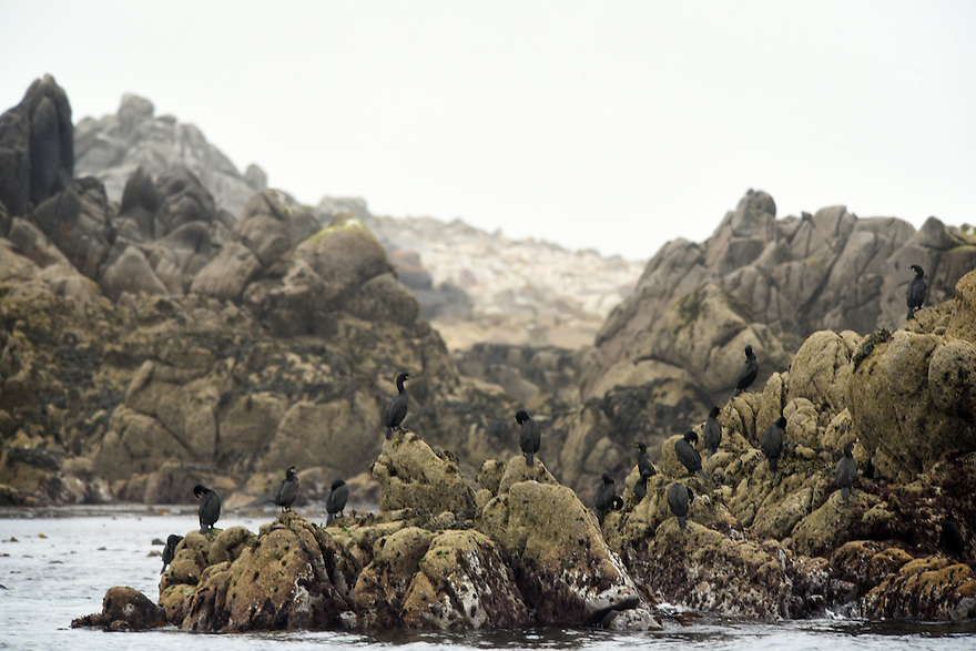 THE ISLES OF SCILLY SEABIRD RECOVERY PROJECT.SHAGS GATHER OFF THE COAST OF ANNET. 17/06/2015. PHOTOGRAPHER CLARE KENDALL.
