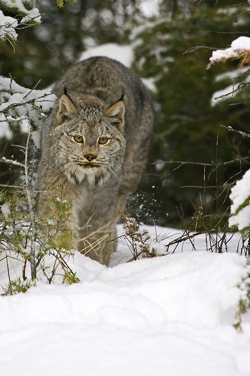 Canada Lynx walking through a snowy forest - CA