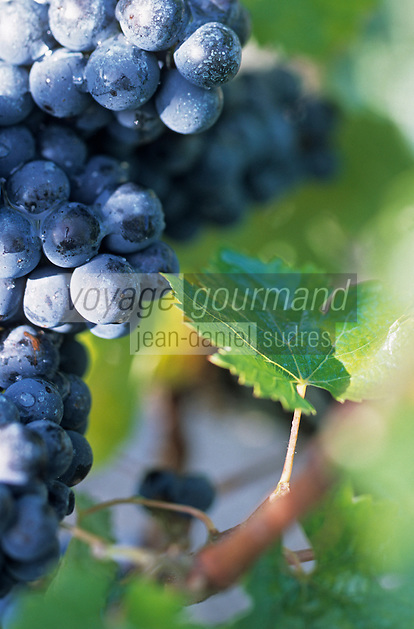Europe/France/Aquitaine/33/Gironde: Cépage rouge Cabernet-Sauvignon