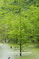 63895-14610 Bald Cypress trees (Taxodium distichum) Heron Pond Little Black Slough, Johnson Co. IL