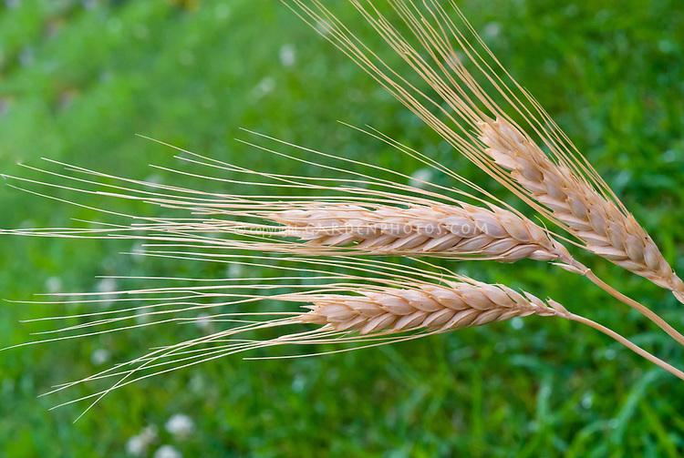 Barley, cereal grain, dried sheaf, Hordeum vulgare, grass family