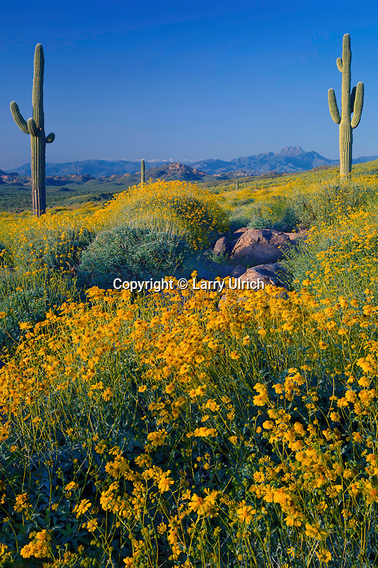 Brittlebush, saguaro and Four Peaks<br /> Siphon Draw, Superstition Mountains<br /> Tonto National Forest<br /> Sonoran Desert,  Arizona
