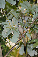 Central American Squirrel Monkey, Saimiri oerstedii , adult in Cecropia Tree, Manuel Antonio National Park, Central Pacific Coast, Costa Rica, Central America, December 2006