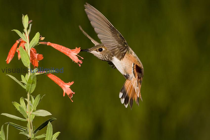 Rufous Hummingbird immature male (Selasphorus rufus) feeding at Zauschneria latifolia flowers, Arizona, USA.